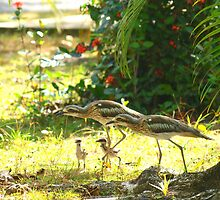 Curlews and young at Wonga Beach, North  Queenland by Virginia  McGowan