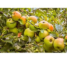 Little Green Apples Photographic Print