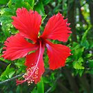 Red Hibiscus by Margaret Stevens