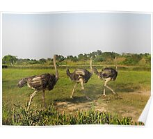 ostrich in the african savanna Poster