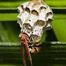 Paper wasps 0089 by kevin chippindall