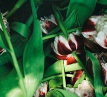Withered tulips Sticker
