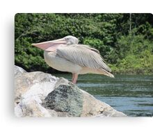 african pelican Canvas Print