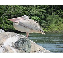 african pelican Photographic Print