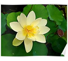 The Lotus Blossom Poster