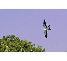 Swallow-tailed Kite (Elanoides forficatus) Photographic Print