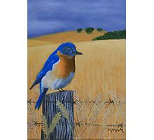 Bluebird on a Fence Photographic Print