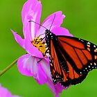 MONARCH BUTTERFLY ON BRIGHT PINK FLOWER by JeannieLagorio