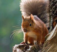 Red Squirrel Backlit Sticker