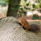 Red Squirrel on Fallen Tree by Sue Robinson