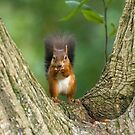 Red Squirrel in Tree by Sue Robinson