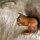 Red Squirrel on Log by Sue Robinson