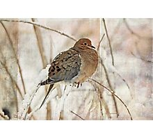 Mourning Dove - Sing No Sad Song for Me #2 Photographic Print