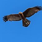 Spotted Harrier by Ian Creek