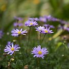 Swan River Daisies by Clare Colins