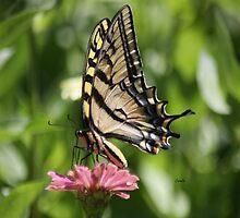 Yellow Swallowtail Butterfly on the Zinnia Flowers by mrsroadrunner