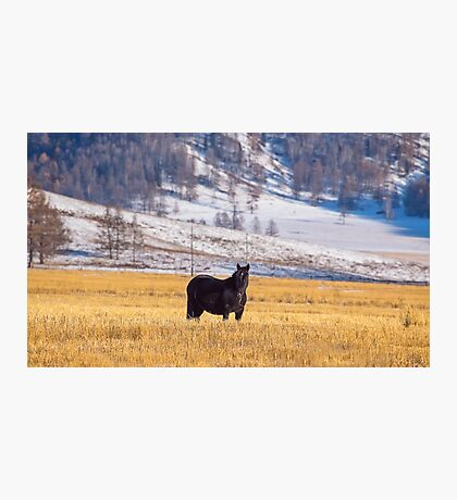 black horse eats mowed yellow grass Photographic Print