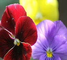 Colors of the Pansy Flowers by mrsroadrunner