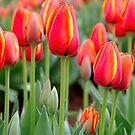 Tulips   by Melissa Dickson