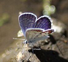 Karner Blue Butterfly  by mrsroadrunner