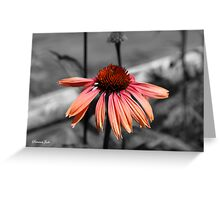 Perennial Harmony Sunset Echinacea Greeting Card