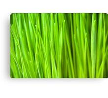Fresh Wheatgrass background Canvas Print