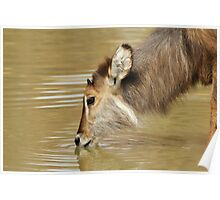 Waterbuck Gold - Pleasure of Life Poster