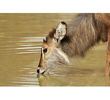 Waterbuck Gold - Pleasure of Life Photographic Print