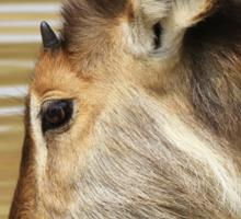 Waterbuck Gold - Pleasure of Life Sticker