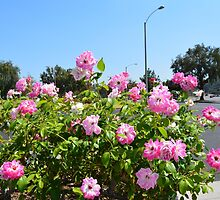 Pink rose flowers bushes. City garden photography. by naturematters