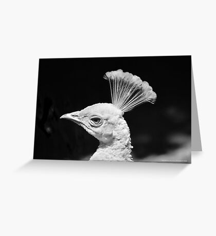 Pavo Cristatus - White Indian Peafowl | Center Moriches, New York Greeting Card