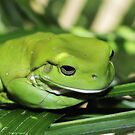 Cool green frog 001 by kevin chippindall
