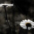 Daisy Arrogance by sundawg7