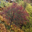 The Rowan Tree, nr Crieff, Perthshire, Scotland by Cliff Williams