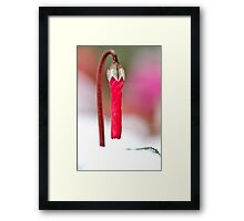 Persian Violet Cyclamen persicum blooming out of the snow  Framed Print