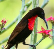 Close-up of Scarlet-chested Sunbird (Nectarinia senegalensis) Sticker