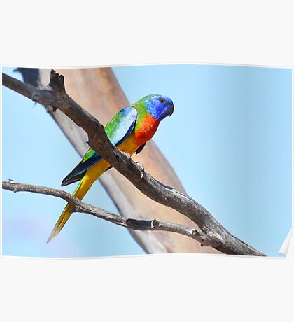 Scarlet-chested Parrot 2 Poster