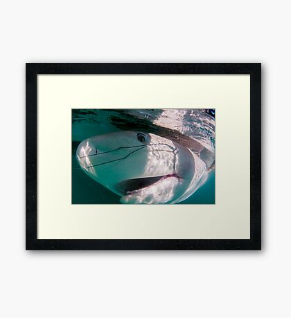 Researchers are tagging a sandbar shark (Carcharhinus plumbeus)  Framed Print