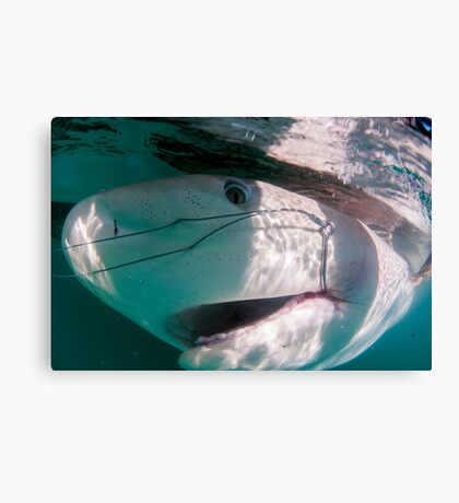 Researchers are tagging a sandbar shark (Carcharhinus plumbeus)  Canvas Print
