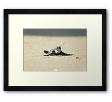 Chelonia mydas, green turtle after hatching on their first voyage to the Mediterranean Sea Framed Print