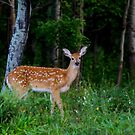White-tailed fawn in the forest by Jim Cumming