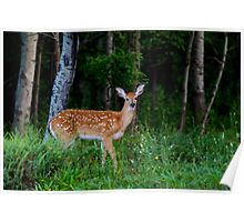 White-tailed fawn in the forest Poster