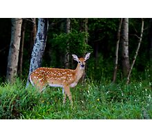 White-tailed fawn in the forest Photographic Print