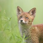 Cute red fox puppies by Remo Savisaar