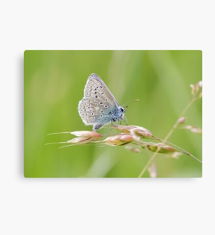 Male Common Blue butterfly (Polyommatus icarus) perched on a grass stem. Canvas Print