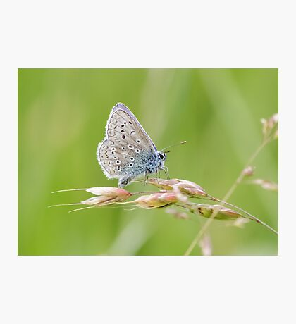 Male Common Blue butterfly (Polyommatus icarus) perched on a grass stem. Photographic Print