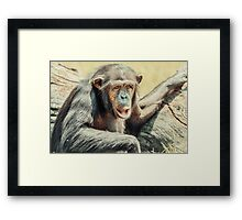 African Chimpanzee Portrait Framed Print