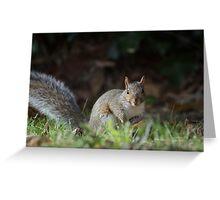 A Grey Squirrel sitting on a leafy lawn. Looking forward. Greeting Card