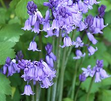 bluebells by markm1892