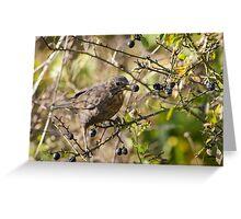 Female Blackbird (Turdus merula) eating winter berries. Greeting Card